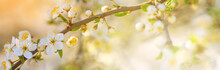 Spring Background, Panorama, Banner - Flowers Of Apple Tree On The Background Of A Blooming Garden, Closeup With Space For Text