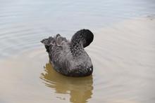 Beautiful Black Swan Floating ...