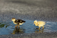 Two Ducks Playing In Parking L...