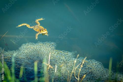 Fototapeta żaba obraz