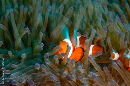 Photo clown fish in anemone