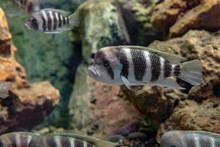 The Frontosa Cichlid, Humphead...