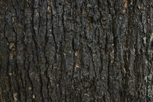 Black Pattern Of Outer Bark Of Trunk