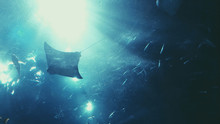 Stingrays Swimming In Sea