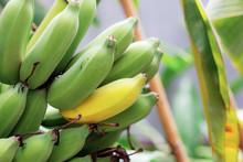 Bananas In Farm.