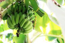 Raw Bananas With Sky.