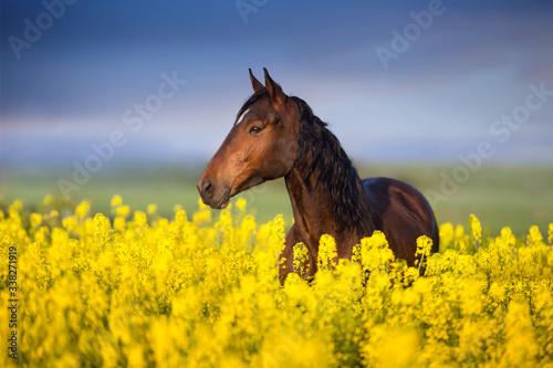 Photo Bay horse with long mane on rape field