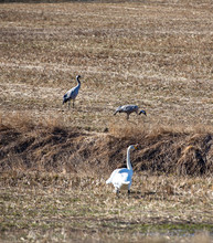 Migratory Birds In The Field. Swans And Common Cranes Next To Each Other. Spring Time Morning In Finland.