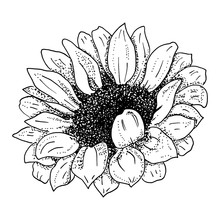 Vector Sunflower, Black And Wh...