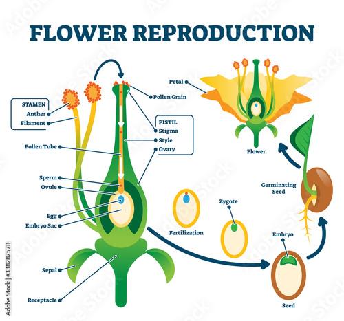 Obraz na plátne Flower reproduction vector illustration