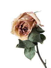 Dry Rose Flower On A White Bac...