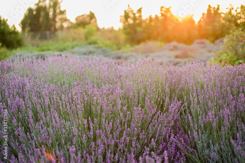 Fototapety, obrazy: Lavender fields on the sunset