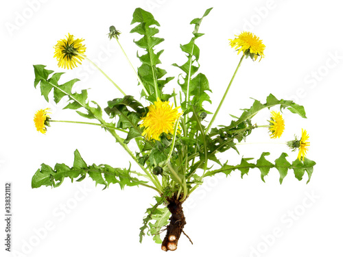 Fotografie, Obraz Löwenzahn - Ganze Pflanze mit Wurzel - isoliert