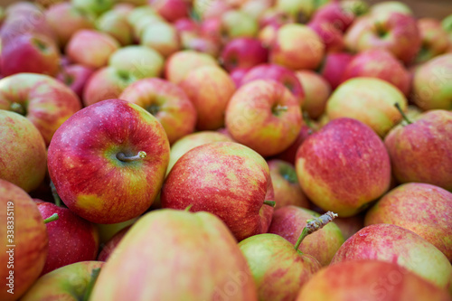 wooden-crate-full-of-fresh-apples-harvest-of-fresh-organic-apples-during-autumn-fall-september-in-poland-in-apple-orchard
