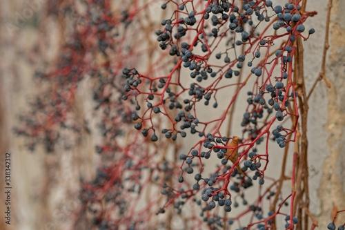 Fototapeta premium Winorośl na ścianie.