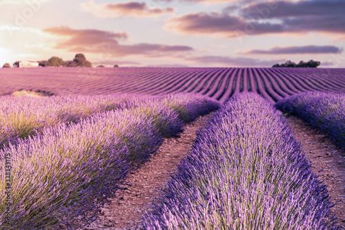 Photo France, Provence Alps Cote d'Azur, Valensole Plateau, Lavender Field at sunrise