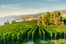 Okanagan Valley, Vineyards Nea...