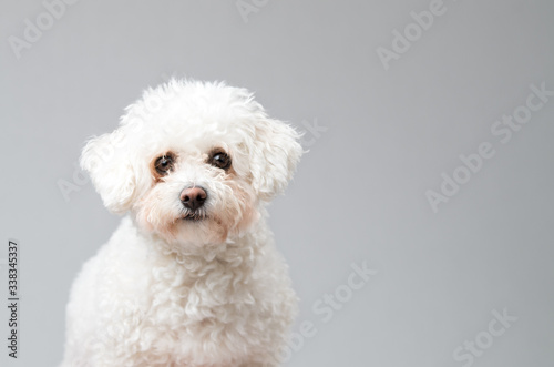 Photo White fluffy Bichon Frise dog sitting down
