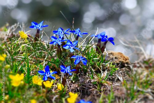 Fotomural Un bouquet de gentianes printanières en montagne