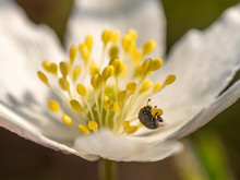 Close Up, Macro Of White Flower In Spring With Black Beetle On Stamen