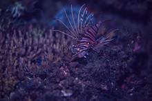 Scorpion Underwater Photo / Un...