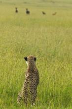 Cheetah Stalking Through High ...
