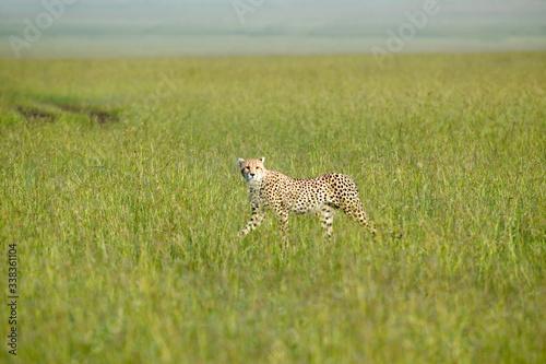 Cheetah stalking and walking through high grasslands of Masai Mara near Little G Canvas Print