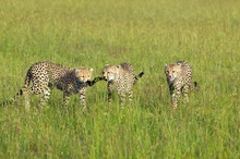 Three Cheetahs Stalking In High Grasslands Of Masai Mara Near Little Governor's Camp In Kenya, Africa