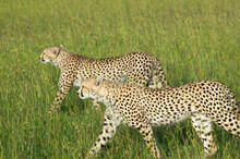 Two Cheetahs Stalking Through High Grasslands Of Masai Mara Near Little Governor's Camp In Kenya, Africa