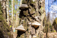 Mushrooms On A Forest Tree Close-up. Macro Photo.