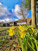 Daffodils In Avenham And Mille...
