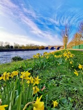 Daffodils Along The River Ribb...