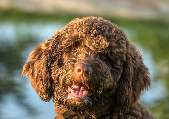 Brown Spanish Water Dog portrait on green grass outdoor