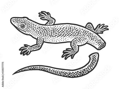 Lizard with self amputated tail Autotomy sketch engraving vector illustration Canvas Print