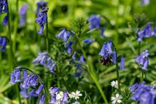 Bumblebee Collecting Pollen Fr...