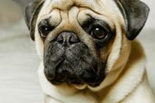 A Close-up Portrait Of A Beig...
