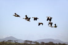 Egyptian Geese Fly In Formatio...