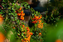 Branches Of Pyracantha Bush Wi...