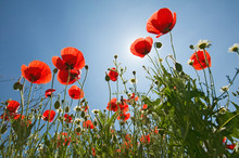 Looking Up At Red Poppies In S...