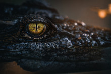 Close Up - Crocodile Or Alliga...