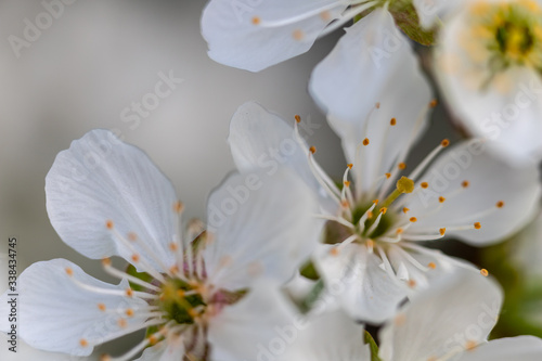 close up of a apple fruit blossom in spring with a clear view on the different parts of the flower such as sepal, pedal, stigma and  anther Canvas Print