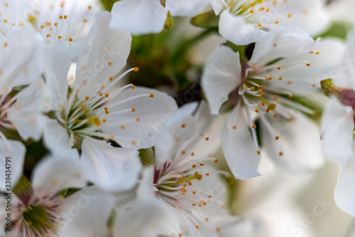 Photo close up of a apple fruit blossom in spring with a clear view on the different parts of the flower such as sepal, pedal, stigma and  anther