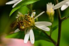 Metallic Green Sweat Bee Feeding On Nectar