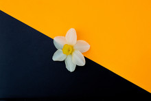 Daffodil Flower On Black Backg...