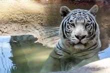 Portrait Of Tiger Submerged In Water
