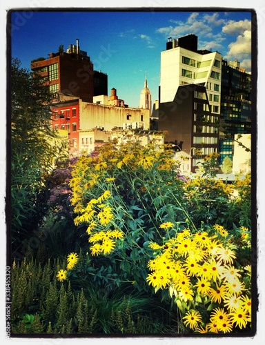 Fotografering Yellow Blackeyed Susan Flowers With City In Background