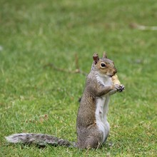Squirrel Eating Peanut On Grass