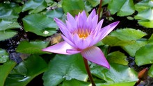 Purple Lotus Flower Blooming In Lake