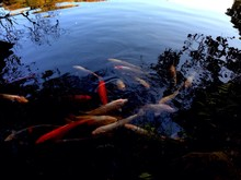 High Angle View Of Koi Fish In Pond