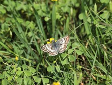 Common Checkered Skipper (Pyrgus Communis) On A Yellow Flower. A Beautiful Common Checkered-Skipper Butterfly Sips Nectar From A Flower In Texas.